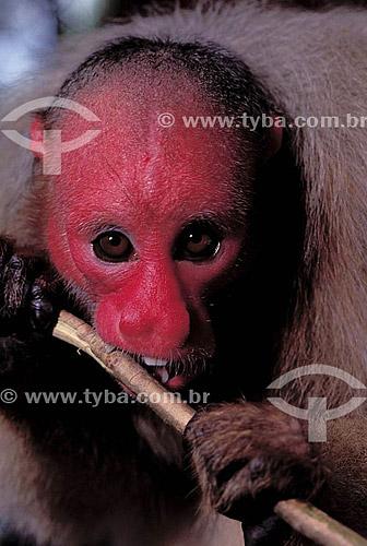 (Cacajao calvus rubicundus) Macaco Uacari vermelho - Amazônia - Brasil