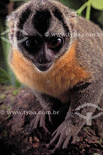 (Aotus trivirgatus) Macaco da noite - Brasil