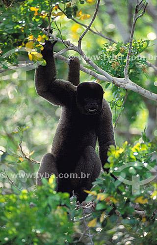 (Lagothrix lagothricha) Macaco Barrigudo - Floresta Amazônica - Brasil