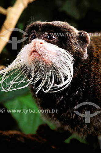 (Saguinus imperator) Saguí-imperador ou Saguí-de-Bigode - Floresta Amazônica - Brasil