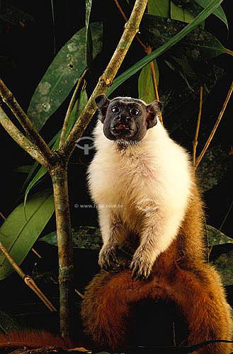 (Saguinus bicolor) Sagüi Bicolor - Amazônia - Brasil