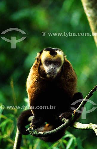 (Cebus apella) Macaco Prego - Parque Nacional do Manu - Cuzco - Peru