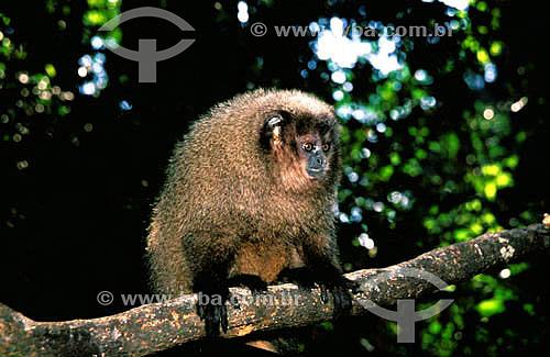 Assunto: (Callicebus personatus nigrifrons) Macaco Sauá / Local: Mata Atlântica - Brasil / Data: 2010