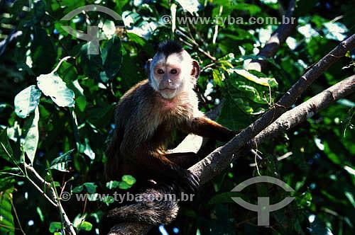 (Cebus kaapori) Macaco-Caiarara - Floresta Amazônica - AM - Brasil  - Amazonas - Brasil