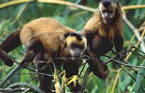 (Cebus apella) Macaco Prego - Mata Atlântica - Brasil