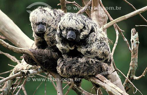 Macaco-parauacu ou Macaco-voador (Pithecia irrorata) - Floresta Amazônica - Amazonas - Brasil  - Amazonas - Brasil