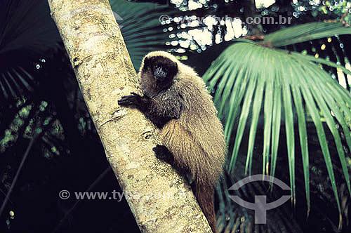 (Callicebus personatus nigrifrons) Sauá, ameaçado de extinção - Mata Atlântica - MG - Brasil  - Minas Gerais - Brasil