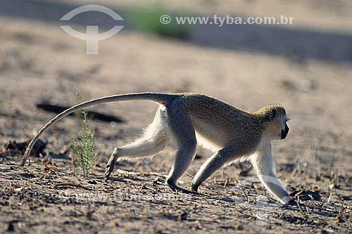 Guenon-etíope ou Macaco-vervet (Cercopithecus aethiops) - África