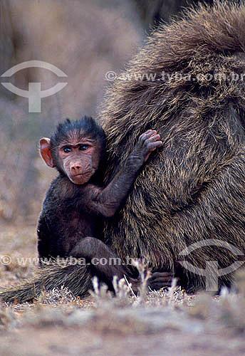 Filhote de Babuíno Verde (Papio anubis) - África