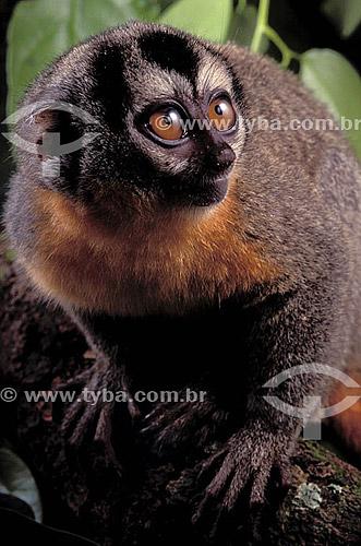 (Aotus trivirgatus) Macaco-da-Noite - AM - Brasil  - Amazonas - Brasil