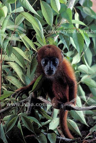 (Alouatta fusca) Macaco Bugio ou Guariba, barbado bugio e roncador - Mata Atlântica - Brazil