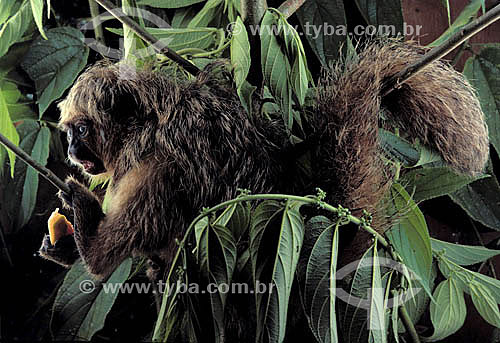 (Pithecia Pithecia) Macaco-Parauacu - Brasil