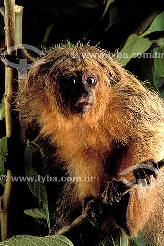 (Pithecia Pithecia) Macaco Parauacu - Floresta Amazônica - AM - Brasil  - Amazonas - Brasil