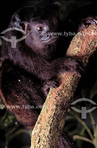 (Saguinus Midas Niger) Sagui una - Amazônia - Brasil