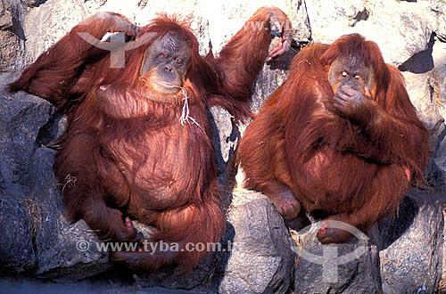 (Pongo pygmaeus) - Orangotango