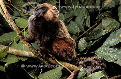 (Callithrix kuhli) Sagüi-de-Wied - Mata Atlântica - Brasil