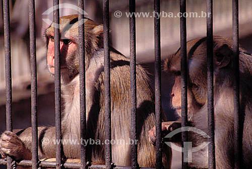 (Macaca mullata) Macaco Rhesus atrás de grades