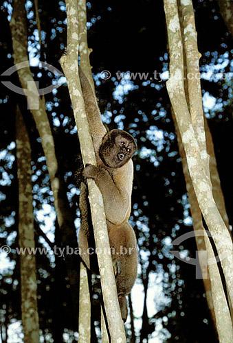 (Lagothrix lagotricha) Macaco-barrigudo - Amazônia - Brasil