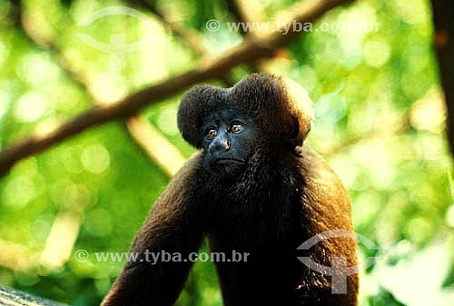 (Chiropotes satanas) Cuxiú Marrom - Amazônia - Brasil