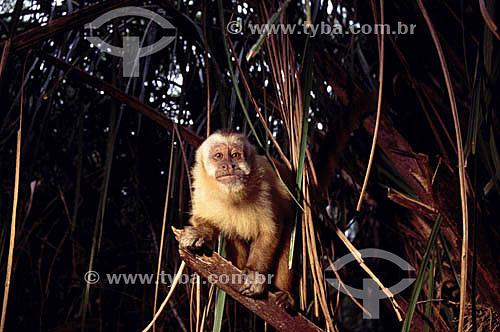 (Cebus apella) - Macaco Prego - Bonito - Mato Grosso do Sul - Brasil  - Bonito - Mato Grosso do Sul - Brasil