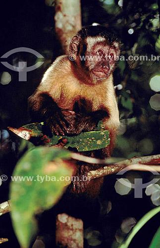(Cebus apella) - Macaco Prego - Brasil