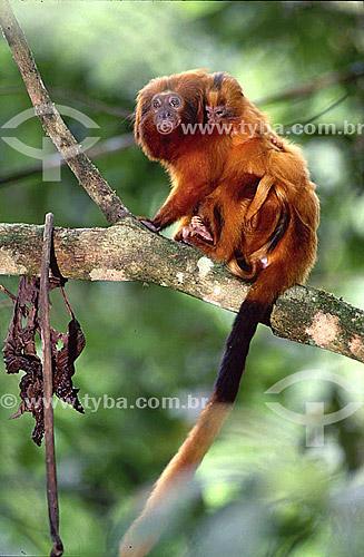 (Leontopithecus rosalia) Mico Leão Dourado - Mata Atlântica - Brasil - Data: 1993