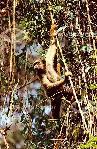 (Brachyteles arachnoides) Muriqui ou Mono Carvoeiro - Mata Atlântica - Brasil
