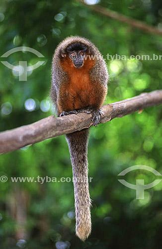 (Aotus trivirgatus) Macaco-da-Noite - Amazônia - Brasil