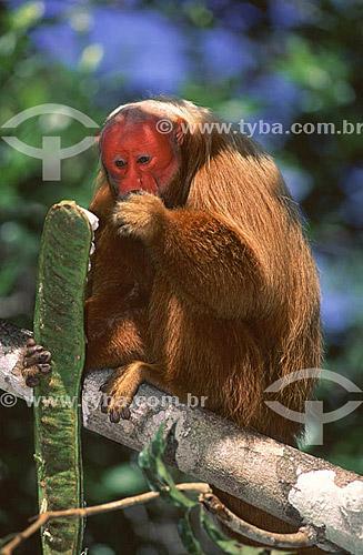 (Cacajao calvus rubicundus) Macaco Uacari vermelho alimentando-se de ingá (fruta) - AM - Brasil  - Amazonas - Brasil