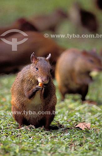 Assunto: Cotias comendo dentro do Campo de Santana (Dosyprocto ozaroe) / Local: Rio de Janeiro (RJ) - Brasil / Data: 2001
