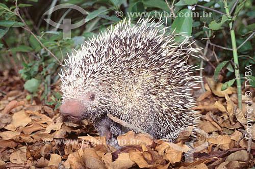 (Coendou prehensilis) Ouriço-cacheiro chamado também de porco espinho