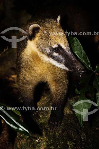 Quati na Floresta da Tijuca - Rio de Janeiro - RJ - Brasil  - Rio de Janeiro - Rio de Janeiro - Brasil