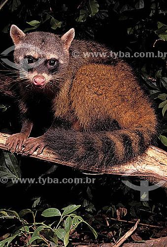 (Procyon cancrivorus) Mão-Pelada - Quati - Brasil