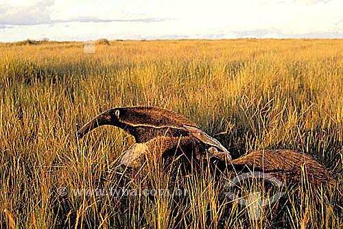(Myrmecophaga tridactyla) Tamanduá-bandeira - Parque Nacional da Serra da Canastra - MG - Brasil  - Minas Gerais - Brasil