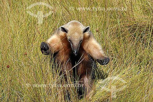 (Tamandua tetradactyla) Tamanduá-mirim - Cerrado - Goiás - Brasil - 2005  - Goiás - Brasil