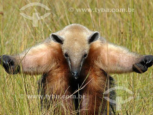 (Tamandua tetradactyla) - Tamanduá-Mirim - Parque Nacional das Emas - Goiás - Brasil / Data: 2005  O Parque é Patrimônio Mundial pela UNESCO desde 16-12-2001