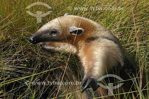 (Tamandua tetradactyla) - Tamanduá-Mirim - Parque Nacional das Emas - Goiás - Brasil   O Parque é Patrimônio Mundial pela UNESCO desde 16-12-2001  - Goiás - Brasil