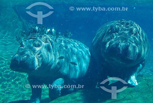 Hipopótamos (Hippopotamus amphibius) - Sea World - San Diego - California - USA