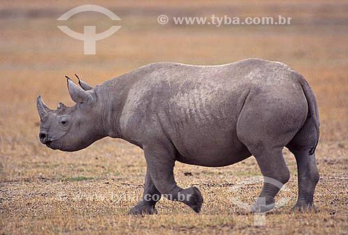 Rinoceronte Branco (Ceratotherium simum) - África