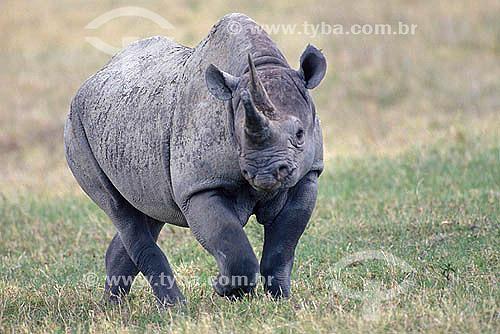 Rinoceronte Negro (Diceros bicornis) - África