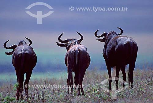 Gnu (Connochaetes taurinus) - África