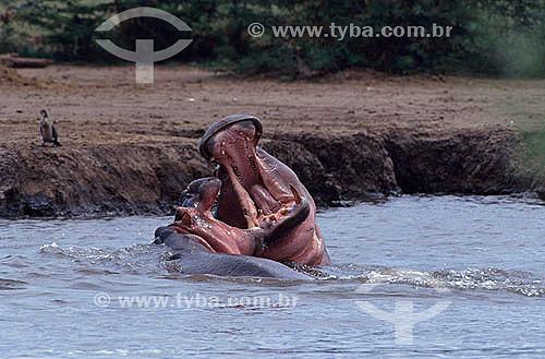Hipopótamo (Hippopotamus amphibius) - África