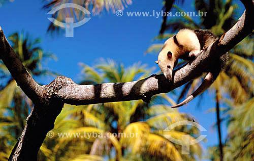 Assunto: Tamanduá-Mirim em um galho / Local: Caravelas - Bahia (BA) - Brasil / Data: 2000