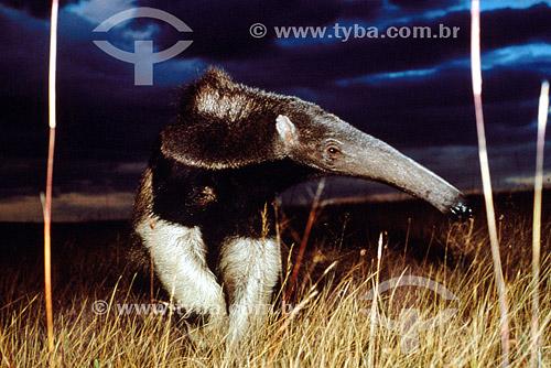 Assunto: Tamanduá-bandeira (Myrmecophaga tridactyla) na Serra da Canastra / Local: Minas Gerais (MG) - Brasil / Data: 03/2014