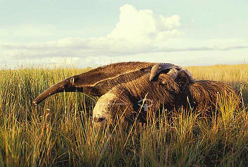 (Myrmecophaga tridactyla) Tamanduá-bandeira com filhote nas costas - Parque Nacional da Serra da Canastra - MG - Brasil  - Minas Gerais - Brasil