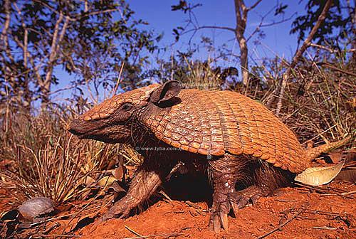 (Euphractus sexcinctus) Tatu-Peba ou Tatu-Peludo - Caatinga - Brasil. Data: 2004
