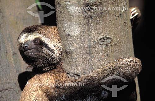 (Bradypus tridactylus) Bicho-Preguiça - Brasil