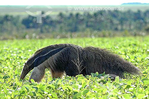 Assunto: Tamanduá Bandeira (Myrmecophaga tridactyla) em plantação de soja ao lado do Parque Nacional das Emas / Local: Goiás (GO) - Brasil / Data: 02/2008