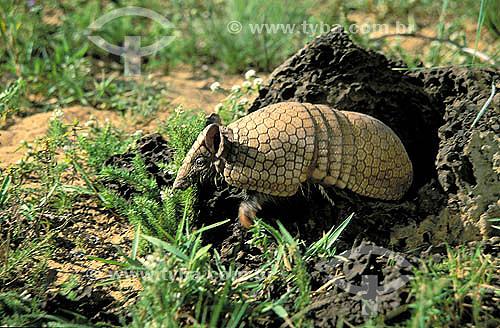 Tatu-bola (Tolypeutes matacus), região de Cerrado - Piauí - Brasil / Data: 2007