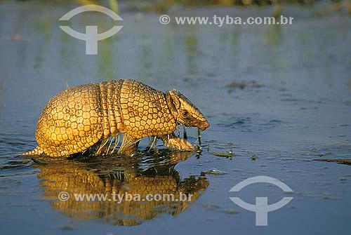 Tatu-bola (Tolypeutes matacus) - Cerrado - Brazil